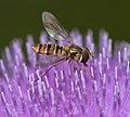 Hoverfly (4780563736).jpg