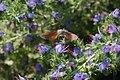 Hummingbird hawk moth (Macroglossum stellatarum) (28270688506).jpg