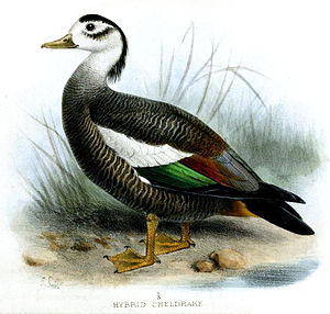 Crested shelduck - Painting by Joseph Smit