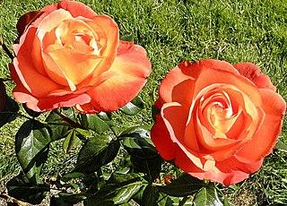 Hybrid tea rose cultivar