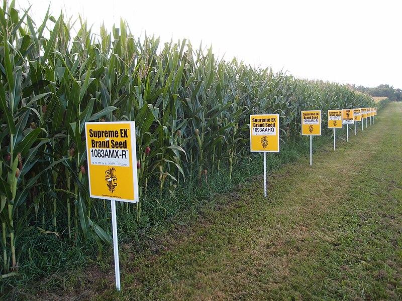 File:Hybrid corn Yellow Springs, Ohio.jpg