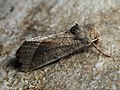 Hydraecia ultima (30621797168).jpg