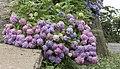 Hydrangea macrophylla, Giresun 2017-07-05 01-1.jpg