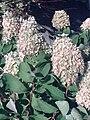 Hydrangea paniculata in Japan.jpg