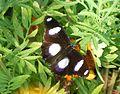 Hypolimnas bolina - mâle.jpg