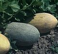 Iğdır Melon.jpg
