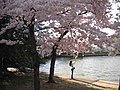 IMG 2333 - Washington DC - Tidal Basin - Cherry Blossoms.JPG