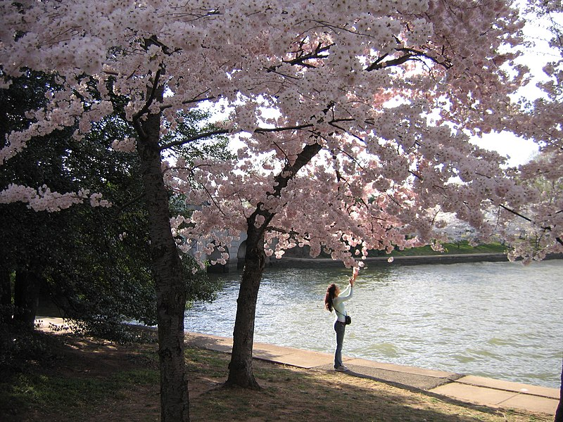 external image 800px-IMG_2333_-_Washington_DC_-_Tidal_Basin_-_Cherry_Blossoms.JPG