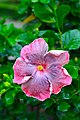 IMG 7798 ชบา (Hibiscus) Photographed by Peak Hora.jpg