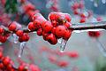 Ice on berries 2 (5395040245).jpg