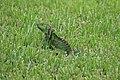 Iguana iguana (30140811575).jpg