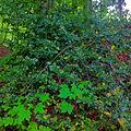 Ilex aquifolium, Dietikon.JPG