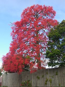 Illawarra Flame Tree.jpeg