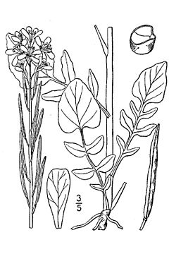 Barbarea vulgaris