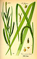 Illustration Carex pendula0.jpg