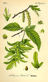 Illustration Carpinus betulus0