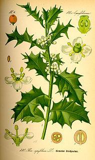 <i>Ilex aquifolium</i> Species of flowering plant in the family Aquifoliaceae
