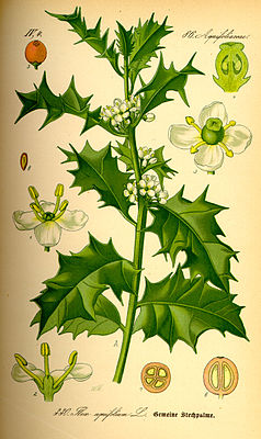 Europäische Stechpalme, oder Gemeine Stechpalme, (Ilex aquifolium), Illustration