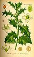 Illustration Ilex aquifolium0.jpg