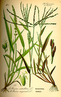 Illustration Setaria verticillata0.jpg