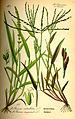 Illustration Setaria verticillata0.jpg