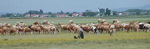 Apetlon - Cows in a meadow near Apetlon, 2003