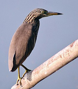Indian Pond Heron.jpg