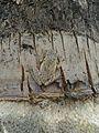 Indian Wood Frog.jpg