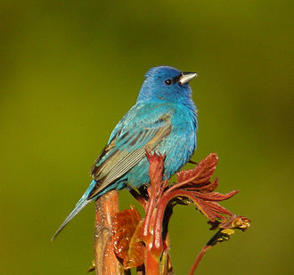 Indigo bunting - A male in breeding plumage