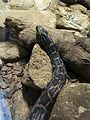 Instituto Butantan 2016 029 - Indian python.jpg