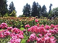 International Rose Test Garden, Oregon (2013) - 8.jpeg