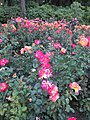 International Rose Test Garden in Portland, Ore. (2013) - 05.JPG