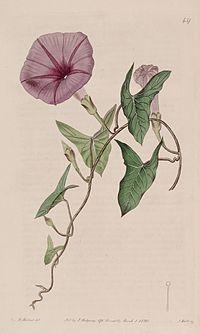Ipomoea sagittata (I. sagittifolia) Bot. Reg. 6. 437. 1820