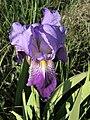 Iris germanica. Lliriu.jpg