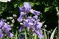 Iris pallida Variegata 2zz.jpg