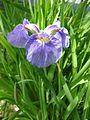 Iris setosa var. setosa (2595031014).jpg