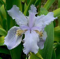 Iris wattii 3