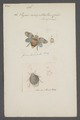 Issus - Print - Iconographia Zoologica - Special Collections University of Amsterdam - UBAINV0274 042 03 0009.tif
