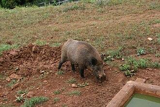 Cabarceno Natural Park - Wild boar in Cabárceno