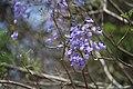 Jacaranda mimosifolia 3.jpg