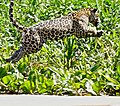Jaguar (Panthera onca) young male jumping away ... (48698487632).jpg