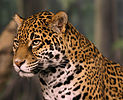 Jaguar head shot NR edit.jpg