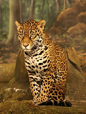 Jaguar sitting small.jpg