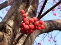 Jarzębina - owoce.JPG