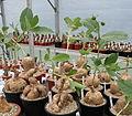 Jatropha campestris2.jpg