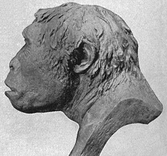 Java Man - A 1922 reconstruction of the skull of Java Man (based on Trinil 2).