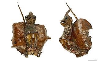 Jenny Haniver - Image: Jenny Haniver MHNT