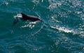 Jervis Bay Dolfin (3131612135).jpg
