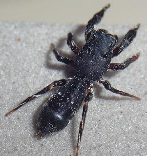 Hisponinae