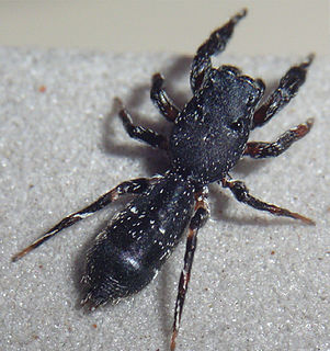 Hisponinae subfamily of spiders